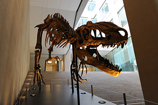 Display of a tyrannosaurus skeleton in the basement 1st floor courtyard
